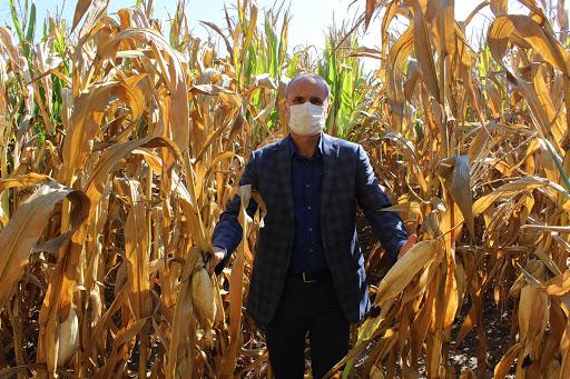 Bolu'da dane mısır tarımına ilgi artıyor