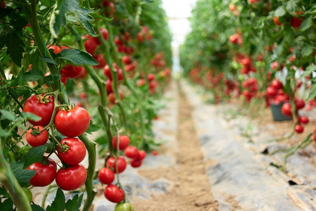 domates-tarlası