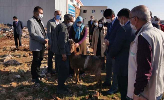 Hayvancılık yapmak isteyen dar gelirli 9 aileye damızlık Kilis keçisi dağıtıldı