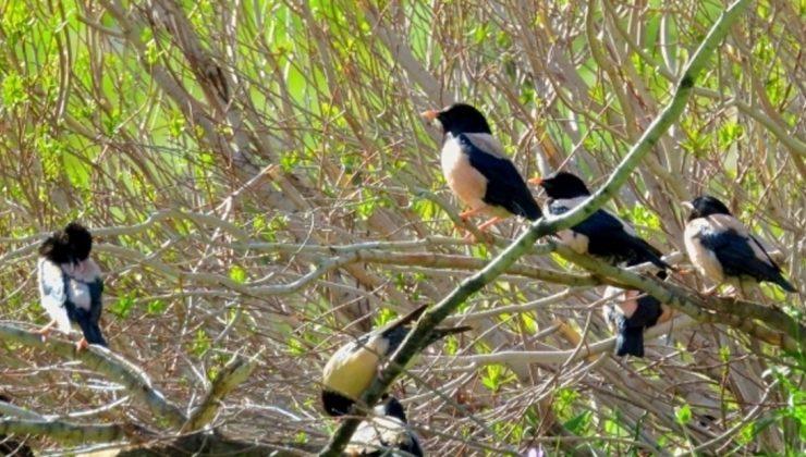 sığırcık kuşları çiftçilerin umudu oldu