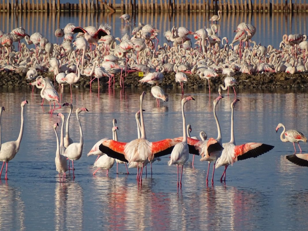 yavru flamingo